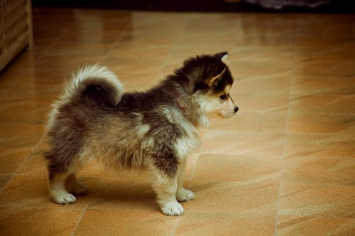 A Pomeranian mixed with a husky. A pomsky. You are welcome.