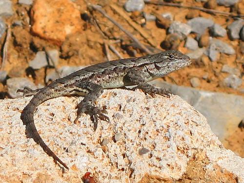 reptile lizard fencelizard
