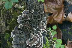 leaf, medicinal mushroom, plant, mushroom, flora, fungus, trunk, hen-of-the-wood, autumn,