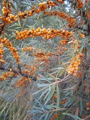 date palm(0.0), shrub(0.0), flower(0.0), plant(0.0), produce(0.0), food(0.0), rowan(0.0), spruce(0.0), autumn(0.0), branch(1.0), leaf(1.0), tree(1.0), hippophae(1.0), flora(1.0),