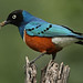 Superb Starling - Photo (c) Steve Garvie, some rights reserved (CC BY-NC-SA)