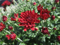 Red flower October 2011 A