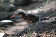 cinclidae(0.0), sandpiper(0.0), animal(1.0), fauna(1.0), green heron(1.0), heron(1.0), beak(1.0), bird(1.0), wildlife(1.0),