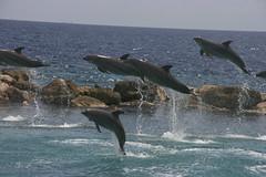 animal, marine mammal, sea, ocean, common bottlenose dolphin, marine biology, short-beaked common dolphin, fauna, dolphin,