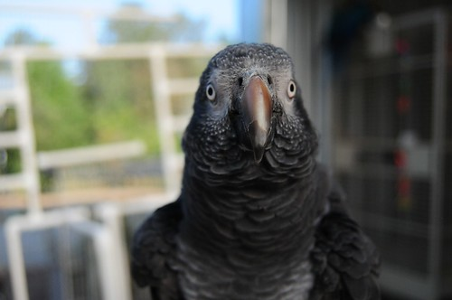 parrot training, timneh african grey, training timneh african greys, Timneh african grey diet, cages for timneh african, timneh african grey health, timneh african grey safety