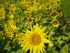 annual plant, sunflower, flower, field, yellow, wildflower, flora,