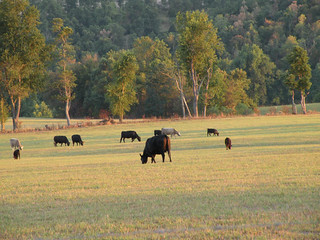 Picture of cattle grazing in a field.