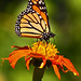 Monarch Butterfly...#6