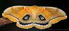 Polyphemus Moth by Marcus Sharpe