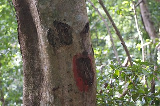 Spooky tree, Tobago