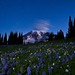 Mazama Ridge Lupine Morning