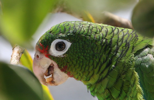 the endangerment of the puerto rican parrot and the need for its conservation A puerto rican parrot in el yunque forest's iguaca aviary the forests where the parrots live need to heal endangered animals conservation birds islands.