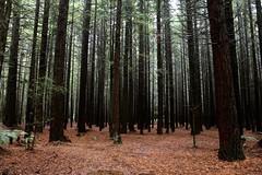 Whakarewarewa Forest Aka The Redwoods