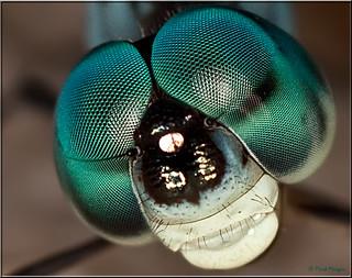 0340 Dragonfly's eyes