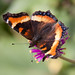 Small photo of Milberts Tortoiseshell - Aglais milberti