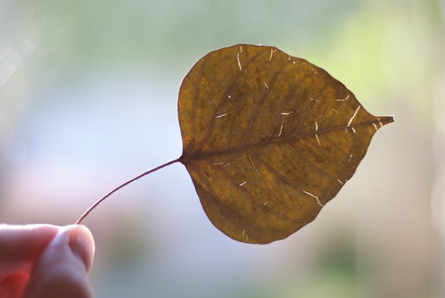 Bodhi Tree Leaf http://www.flickr.com/photos/fairangels/6242554768/