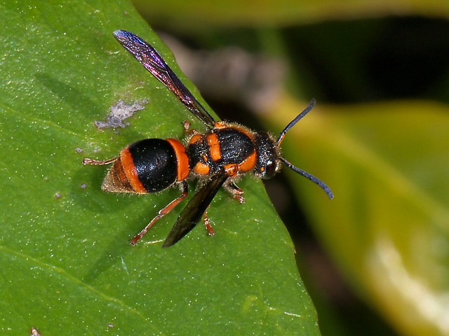 Black and orange (Not Paper but) Potter Wasp P1090705 ...