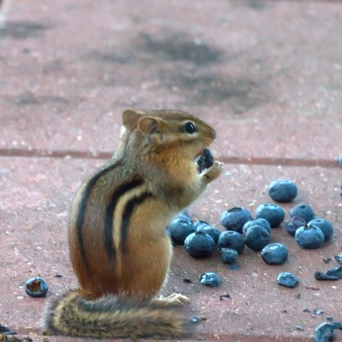 Chipmunk eating blueberries