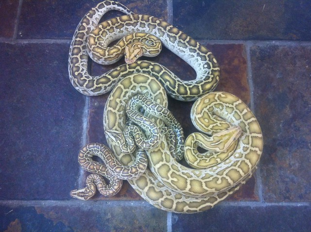 """informative burmese python Burmese python research """"if we can continue to target breeding female pythons for removal the results are two-fold we are keeping the invasive snakes from multiplying and reducing the overall impact on our native wildlife populations""""."""