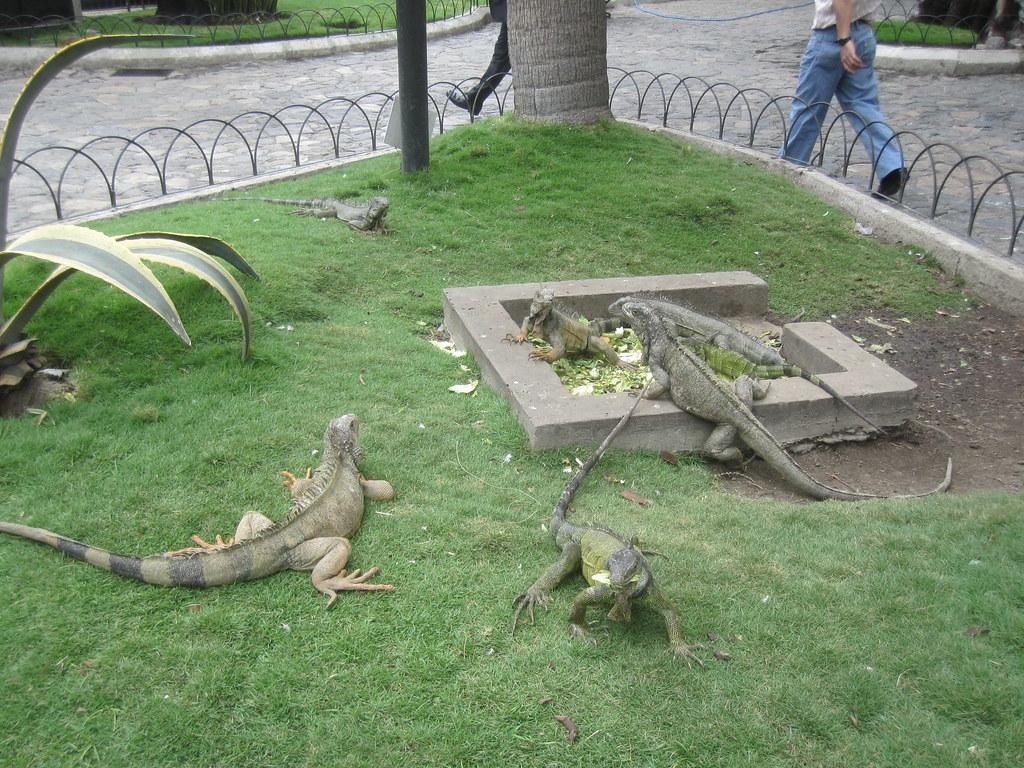 Guayaquil Ecuador Lizards