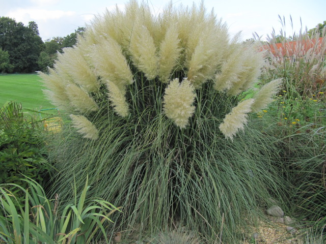 Big plumes of grass flickr photo sharing for Large ornamental grass plants
