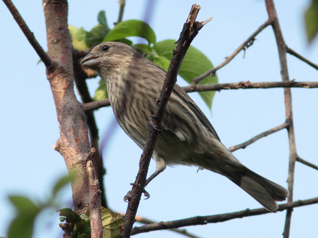 House Finch 20110930