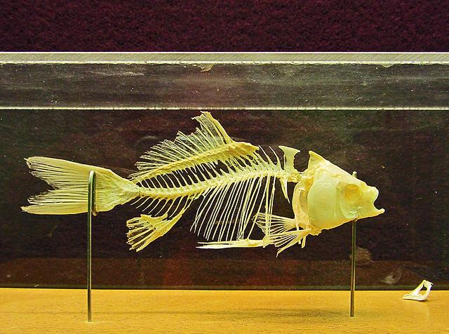 bony fish definition meaning