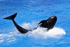 animal, marine mammal, whale, sea, marine biology, dolphin,