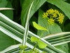 A celebration of green and white... Smyrnium and Miscanthus