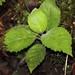 Cyanea pilosa subsp. longipedunculata