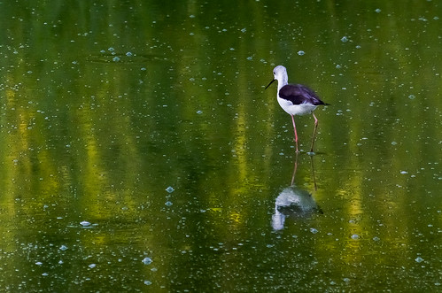 cavaliere d'italia/Black-winged Stilt