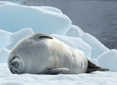 Crabeater Seal in Pléneau Bay, Antarctica