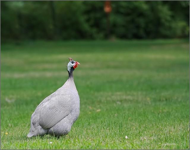 Guinea Fowl Long Island