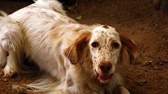 welsh springer spaniel(0.0), saluki(0.0), brittany(0.0), irish setter(0.0), english cocker spaniel(0.0), french spaniel(0.0), dog breed(1.0), animal(1.0), english setter(1.0), dog(1.0), pet(1.0), mammal(1.0), setter(1.0), spaniel(1.0),