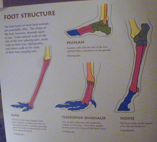 Difference in Foot Structure