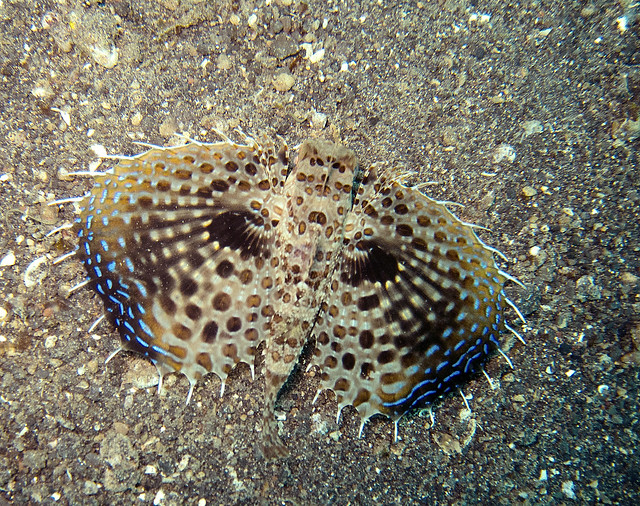 Weird fish with wings extended lembeh sulawesi flickr for Wings fish