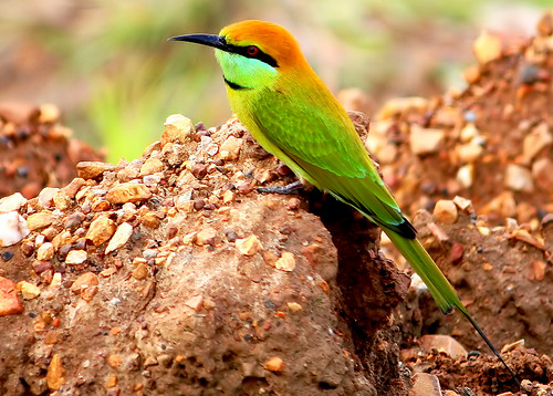 Chestnut headed Bee eater (merops leschenaulti)