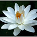 1590 water lily  (nymphea alba)
