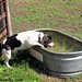 Beagle Bert and the water tank 1