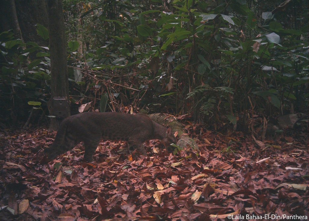 African golden cat sniffing the root where the chimpanzee sat