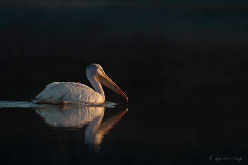 shadow white black reflection pelicans birds sunrise wake avian fernhill firstlight americanwhitepelican fernhillwetlands