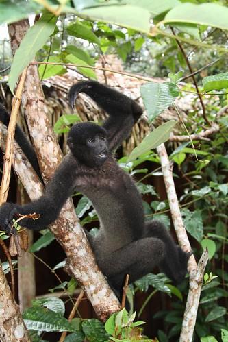 Geoffroy's woolly monkey  (Lagothrix cana)
