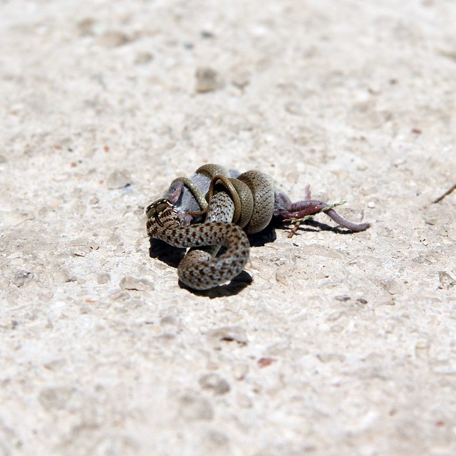 snake eating mouse, Milna, Brač | Explore Sanjaaa's photos ... - photo#28