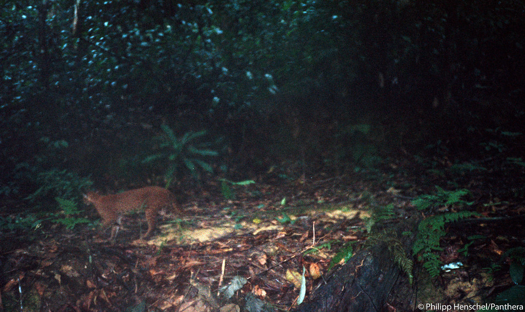 This is the FIRST known camera trap image of a living, wild African golden cat. A camera trap set by Panthera Lion Program Survey Coordinator, Phil Henschel, took this photograph in 2002.    Phil is also responsible for taking the first handheld photos of a live, wild African golden cat in 2003.   Recently, cameras set by Panthera Kaplan scholar Laila Bahaa-el-din in Gabon filmed the first video footage of a wild African golden cat. See the first video footage of a wild African golden cat and get more information about this elusive wild cat at bit.ly/pNCOoz.