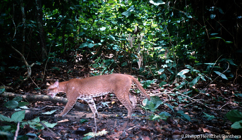 This is one of the first known camera trap images of a living, wild African golden cat. A camera trap set by Panthera Lion Program Survey Coordinator, Phil Henschel, took this photograph in 2002.    Phil is also responsible for taking the first handheld photos of a live, wild African golden cat in 2003.   Recently, cameras set by Panthera Kaplan scholar Laila Bahaa-el-din in Gabon filmed the first video footage of a wild African golden cat. See the first video footage of a wild African golden cat and get more information about this elusive wild cat at bit.ly/pNCOoz.