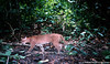 One of first photos of a living, wild African golden cat