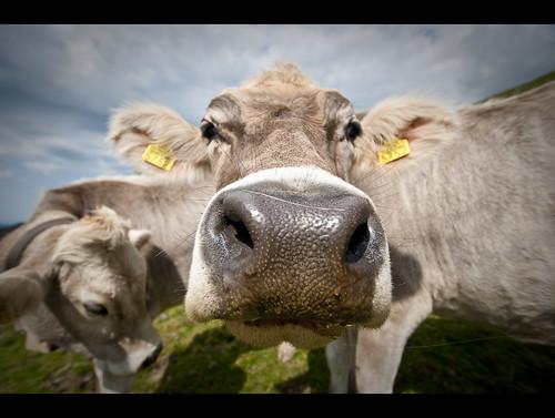 schweiz switzerland kuh cow nikon suisse swiss ostschweiz appenzell d300 kronberg mygearandme mygearandmepremium mygearandmebronze mygearandmesilver mygearandmegold mygearandmeplatinum
