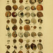 Index testaceologicus