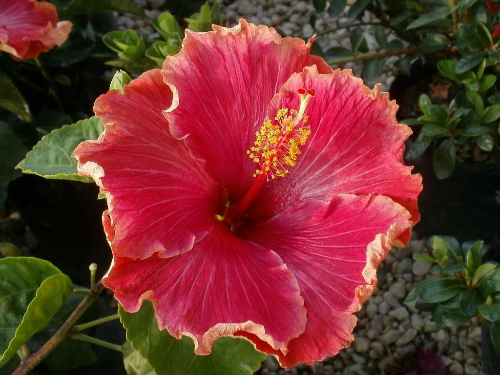 hibiscus rosa sinensis a photo on flickriver. Black Bedroom Furniture Sets. Home Design Ideas
