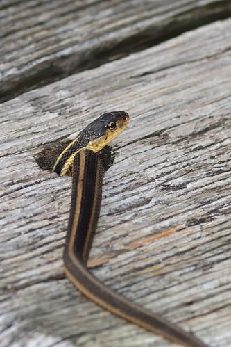 Snake in a hole DSC_9204